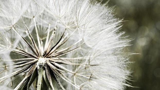 Seeding: Pusteblume